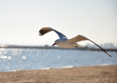 Seagull Flying Low
