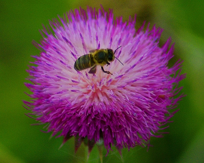 Pollination By Busy Bee
