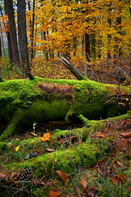 Nurse Log In Bald Eagle State Forest