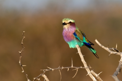 Violet Breasted Roller – Acacia