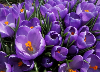 Spring Crocuses Bursting With Color
