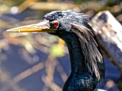 Male Anhinga Close Up