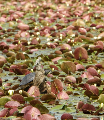 Painted Turtle In The Lily Pond
