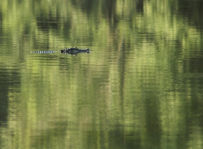 Gator In Forest Reflections
