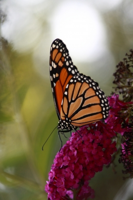 Lingering Monarch