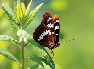 Admiral Lorquin Butterfly