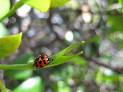 Lady Bug On A Leaf2