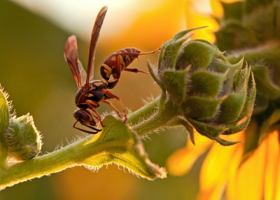 Wasp On Sunflower