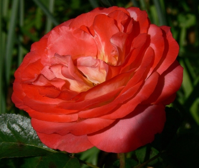 Rose – Queen Of Hearts