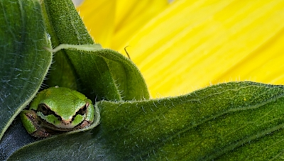 Frog On Sunflower