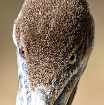 Direct Eye Contact With A Young Pelican