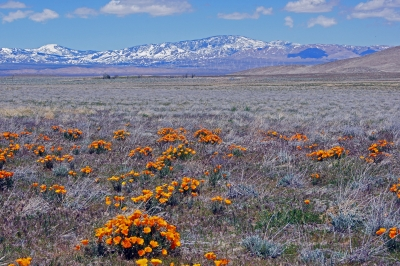 Poppies And Snow On The Tehachapi Range