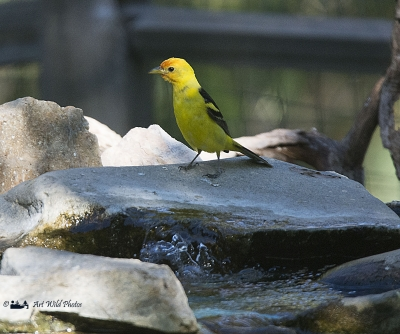 Western Tanager In The Shade