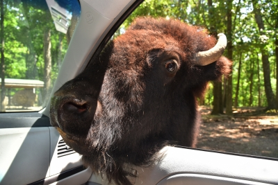 Bison In The Car