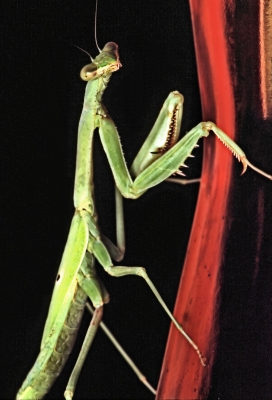 """""""mantis-claws Is Comin' To Town""""  (sorry)"""