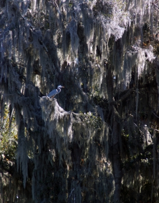 An Heron In Moss Covered Oak Tree