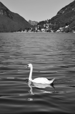 The Goose Of Lugano