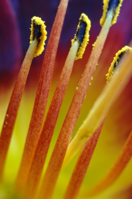 Red Lily Stamins