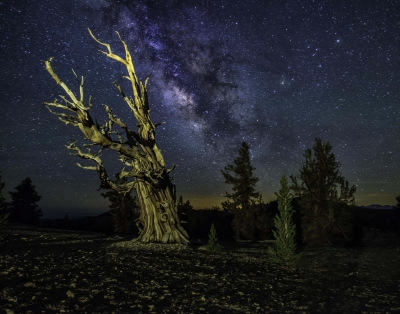 Bristlecone Pine At Midnight