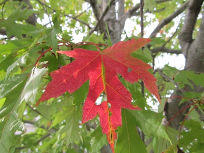 A Single Red Leaf