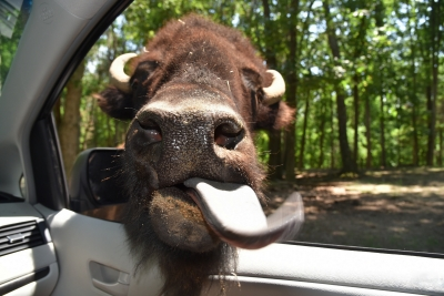 Kiss From Bison