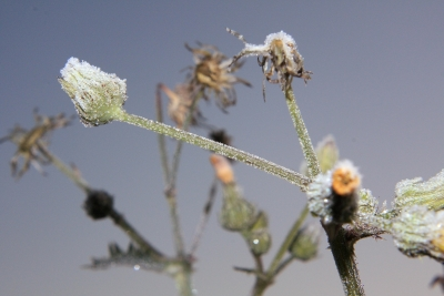 Frost Covered Flora #2