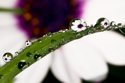 African Daisy Through The Morning Dew Drops
