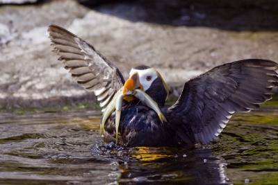 Tufted Puffin Fishing