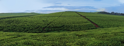 The Tea Fields Of Uganda