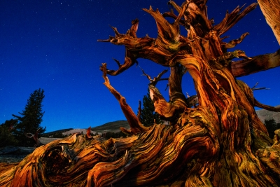 Bristlecone Before Sunrise