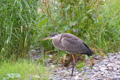 Goldstream Heron