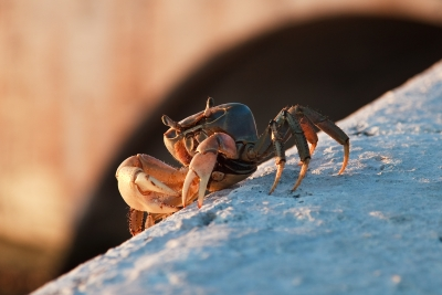 A Crab In The Morning
