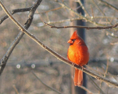 """redbird In Winter"""