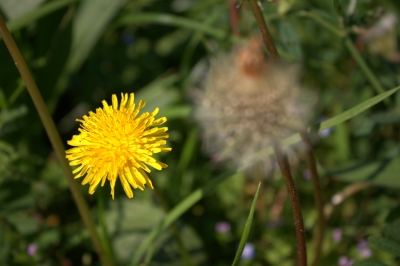 Life Cycle Of A Dandilion