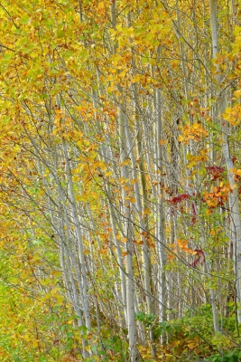 Gold In The Aspens