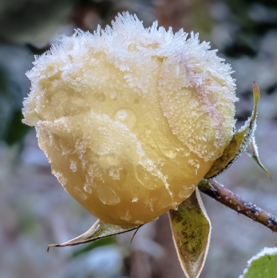 Frost Rose