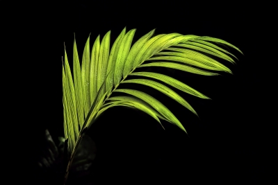Lone Fern With Black Background