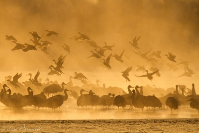 Sandhill Cranes Linger In The Fire Mist