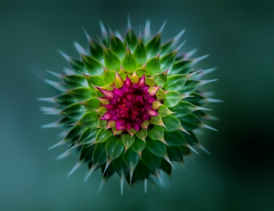 Colorful Thistle