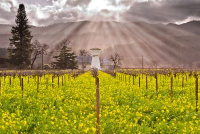 Napa Valley Mustard In Light