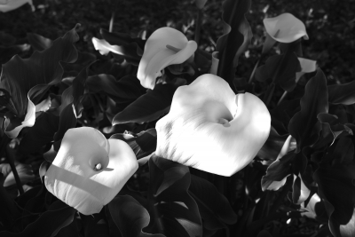 Lilies In The Sunshine