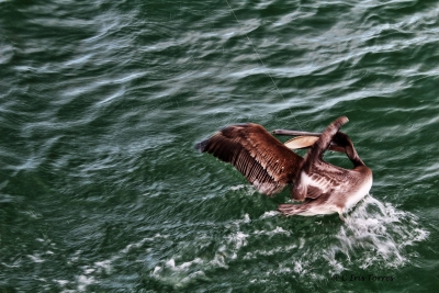 Pelican Caught With A Fishing Line