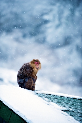 Wild Monkey In The Snow