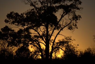 The Tree At Sunset