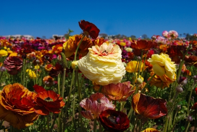 The Ranunculus Fields Of Carlsbad