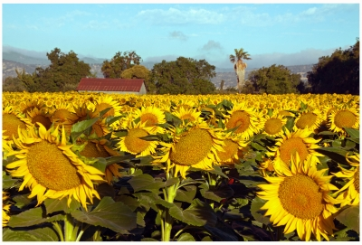 Sunflowers In Suisun Valley