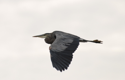 Great Blue Heron Is Flight