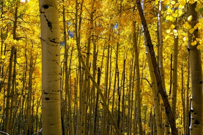 Aspens In Autumn