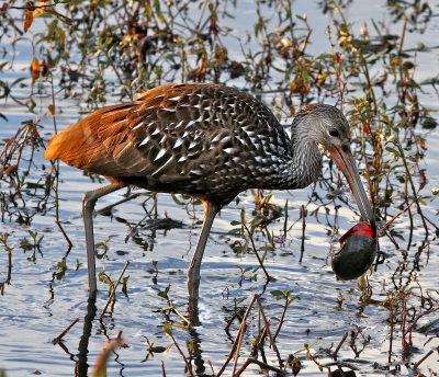 Limpkin Enjoying A Meal At Sunset