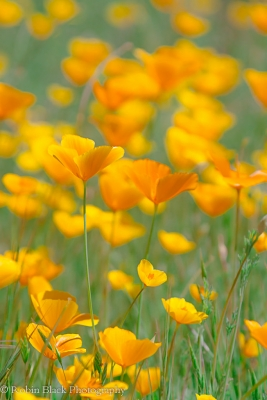 Delicate Poppies, Sierra Foothills